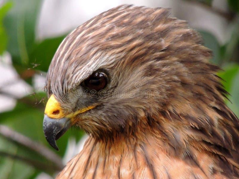 Faucon rouge oriental d'épaule photo stock