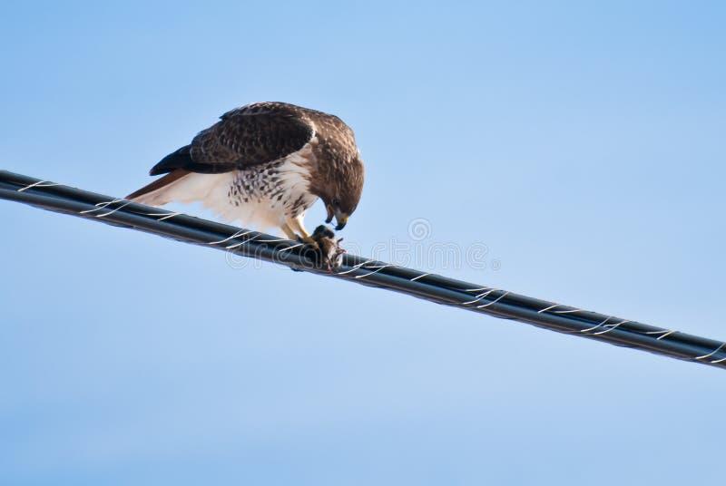 Faucon Rouge-Suivi alimentant sur le loquet images stock
