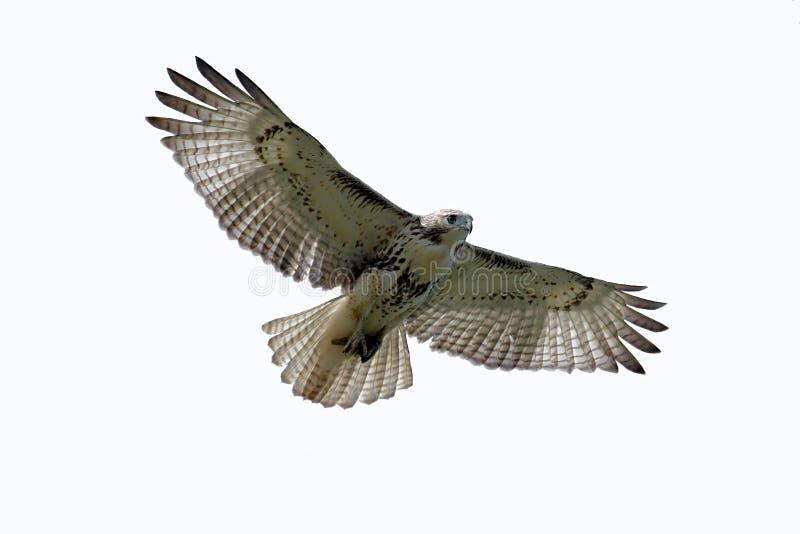 faucon Rouge-suivi d'isolement photo stock