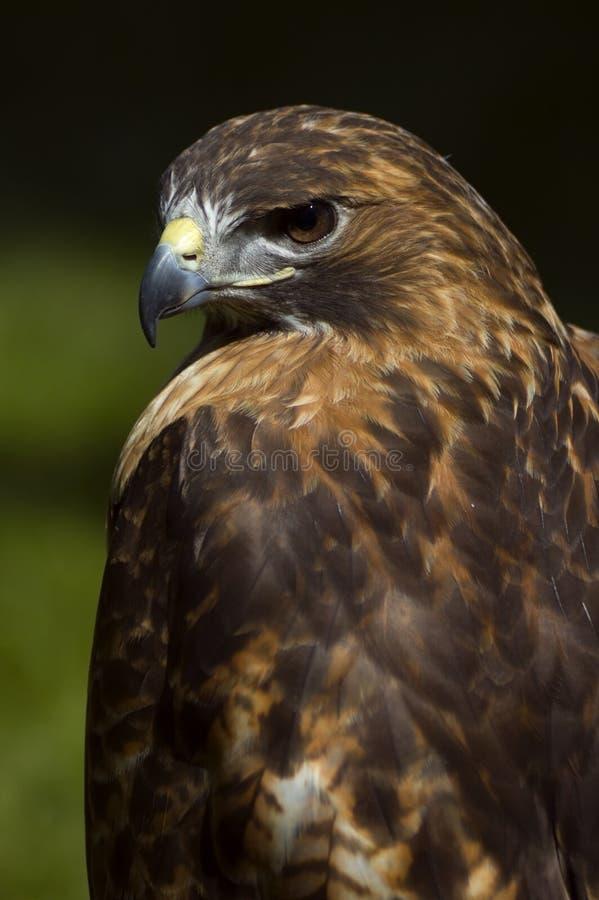 Faucon Rouge-Suivi intense (jamaicensis de Buteo) photographie stock