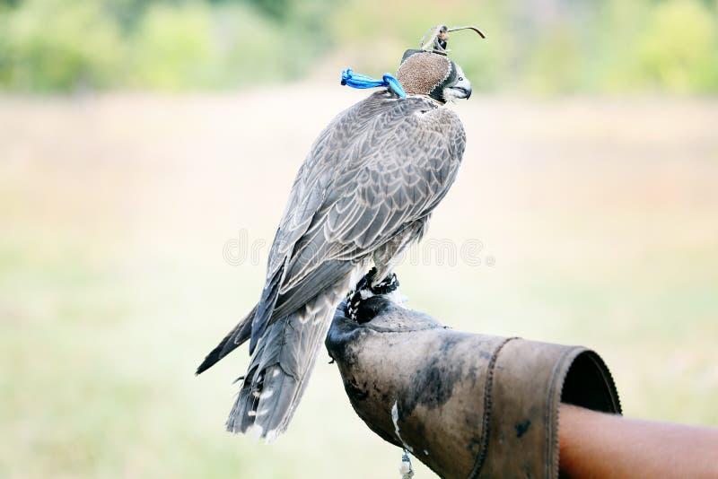 Faucon se reposant sur le gant en cuir images libres de droits