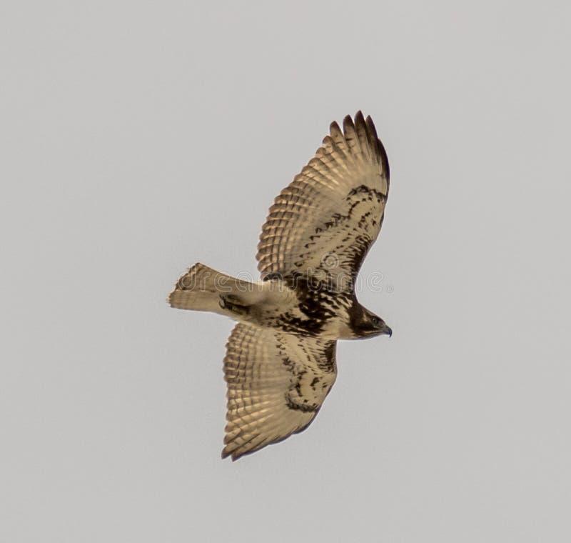 Faucon suivi par rouge juvénile images libres de droits
