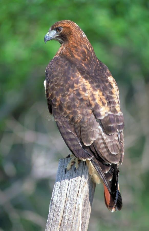 Faucon suivi rouge image libre de droits