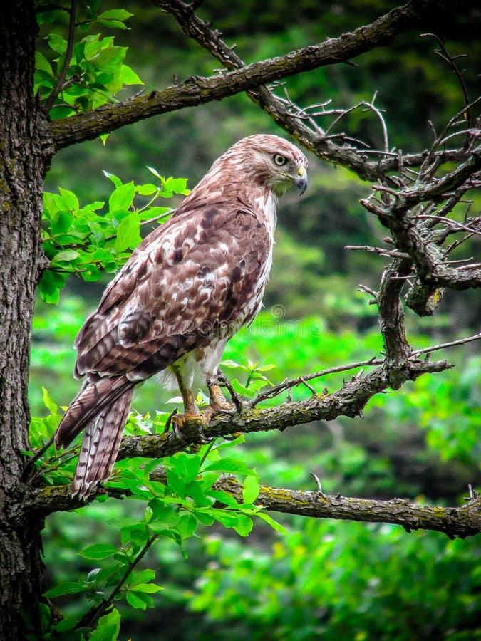 Faucon suivi rouge photo stock