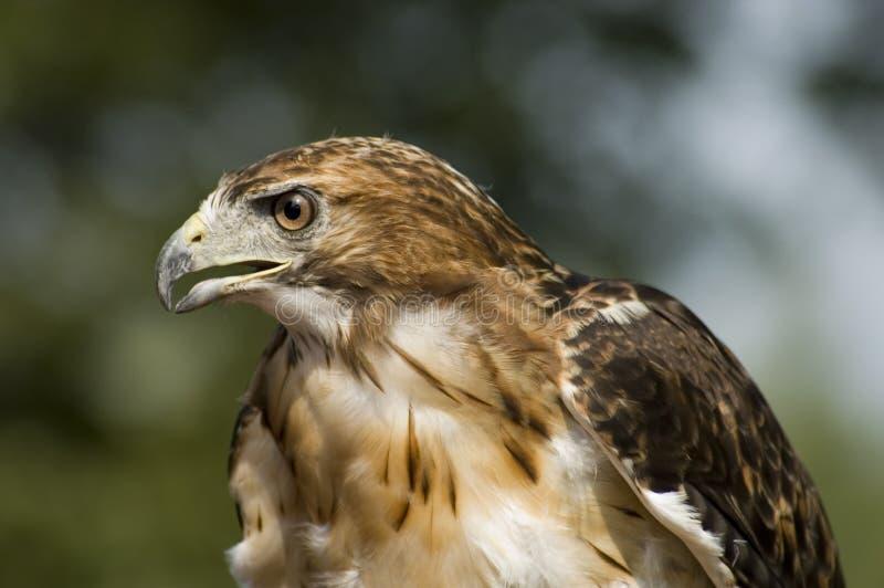 Faucon suivi rouge - vue de côté image libre de droits