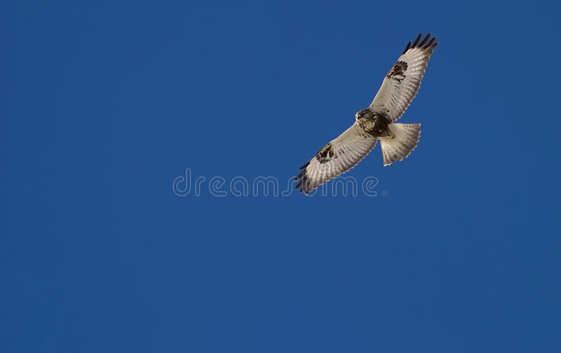 Faucon sur la chasse photo libre de droits