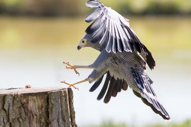 fauconnerie Bel oiseau de Gymnogene de proie saisissant en vol les FO photographie stock libre de droits