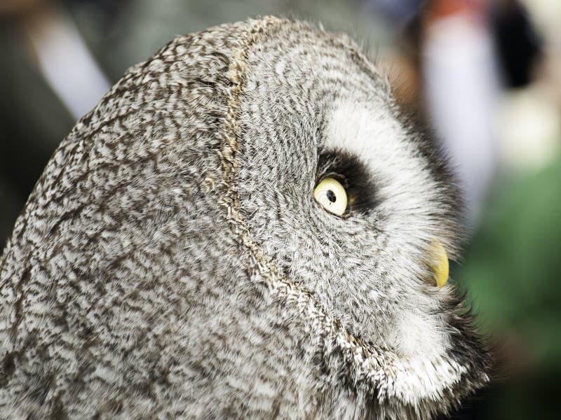 Fauconnerie de hibou naturelle photographie stock libre de droits