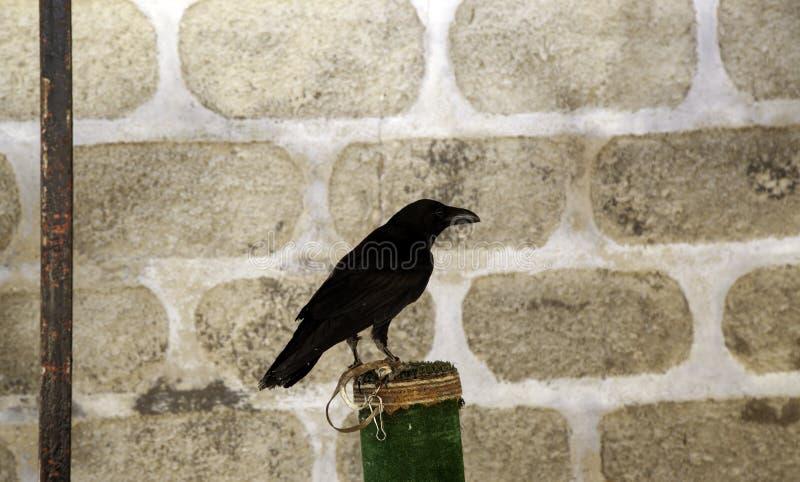 Fauconnerie noire de corbeau photo stock