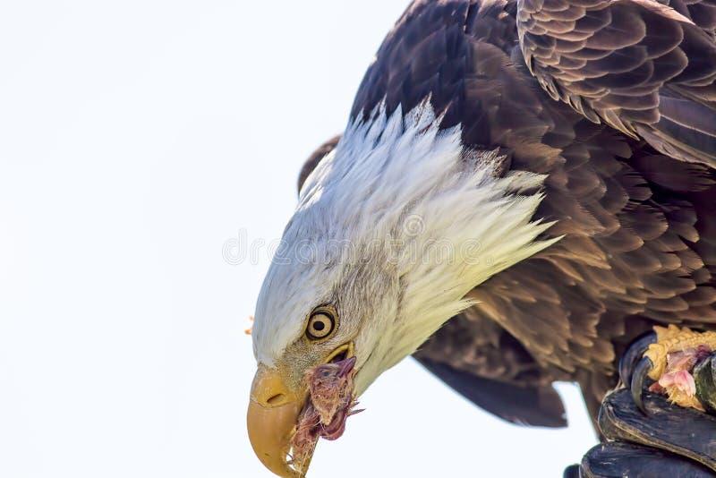 fauconnerie Oiseau d'aigle chauve de proie américain mangeant le poussin de fal image libre de droits
