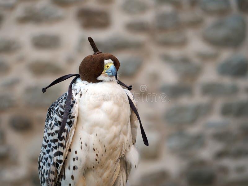 Fauconnerie - oiseau dans le capot photos libres de droits