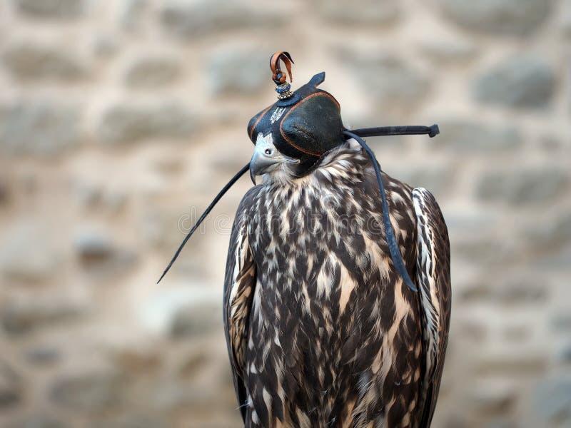 Fauconnerie - oiseau dans le capot photographie stock