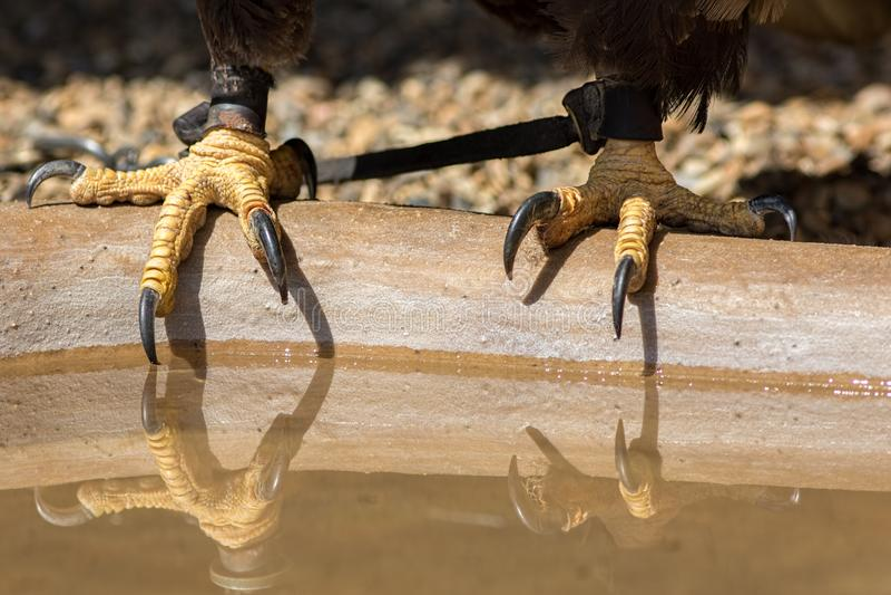 fauconnerie Serres d'aigle chauve avec les jesses en cuir de fauconniers images libres de droits