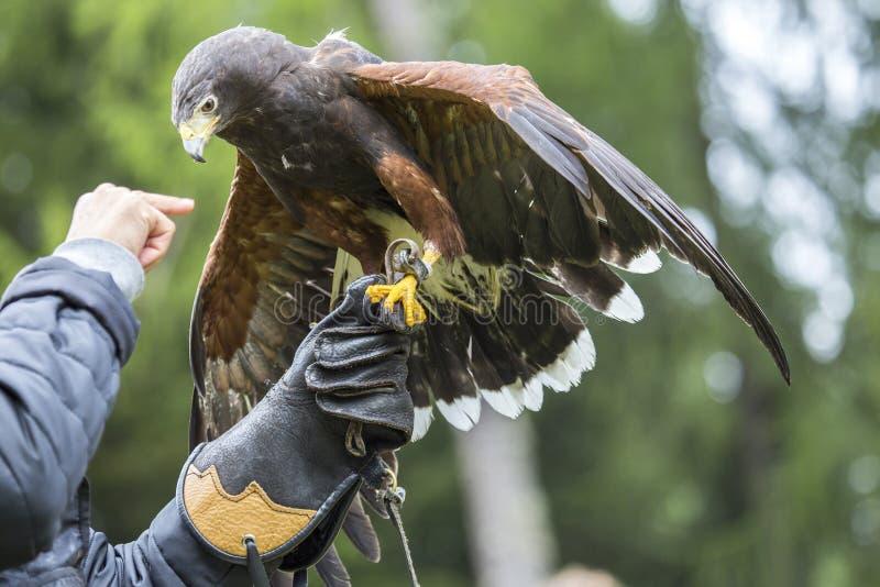 Fauconnier avec le faucon de Harris sur le bras image libre de droits