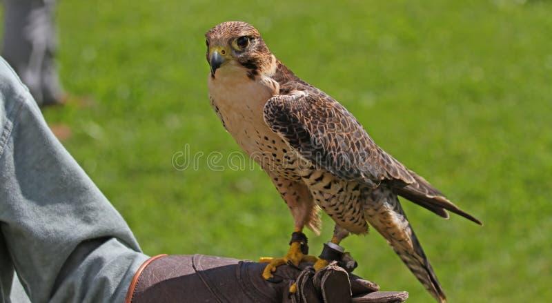 Fauconnier avec le faucon sur le gant de formation images stock