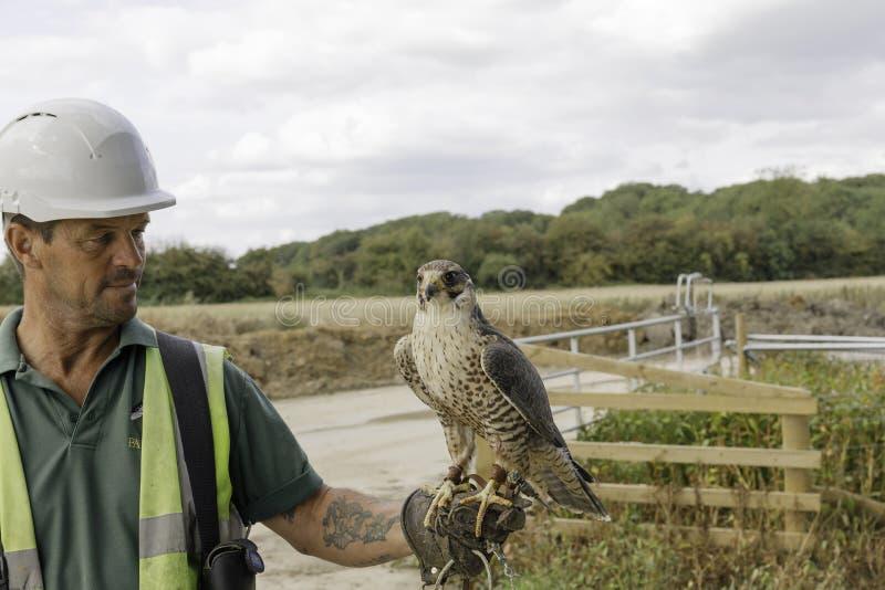 Fauconnier avec les oiseaux de travail photos libres de droits