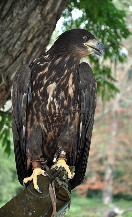 Fauconnier d'Eagle en main photo stock