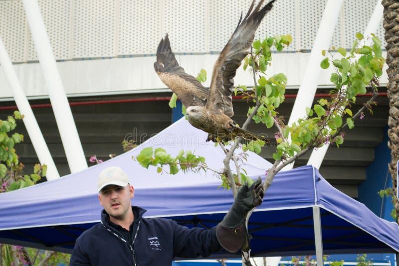 Fauconnier et le faucon photos libres de droits