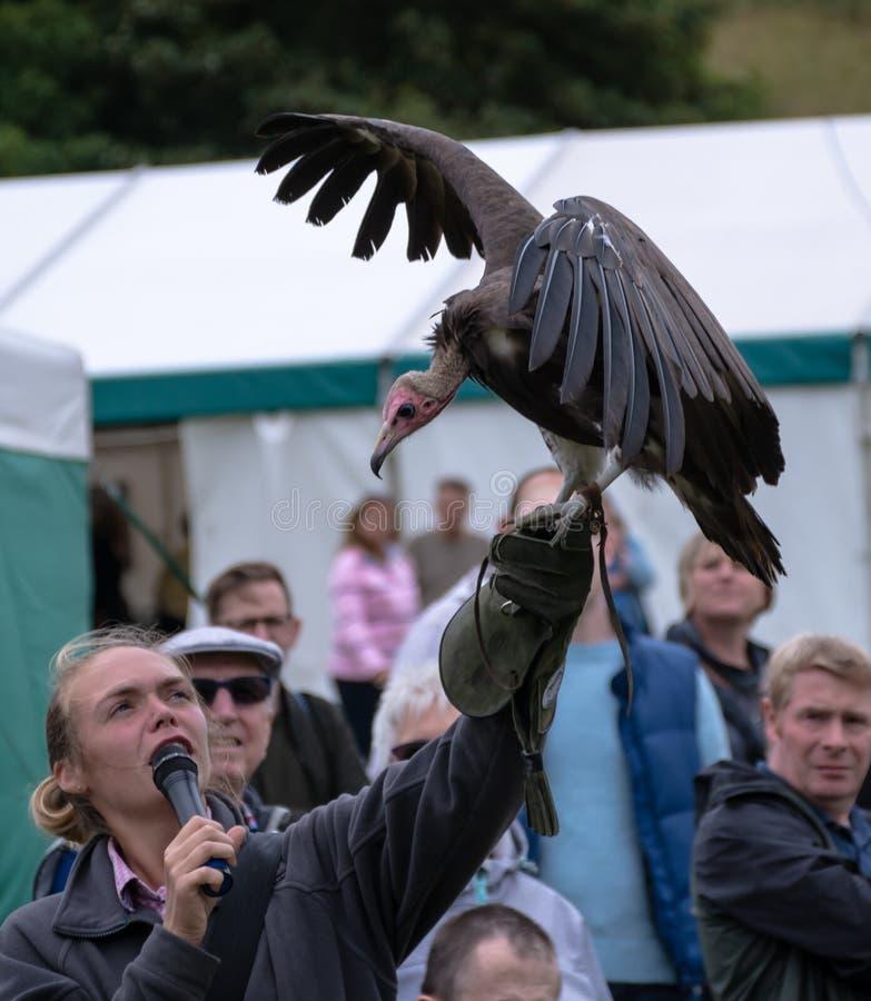 Fauconnier et vautour image stock