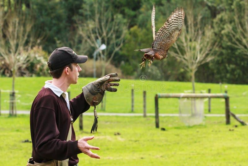 Fauconnier libérant le faucon du Nouvelle-Zélande photos libres de droits