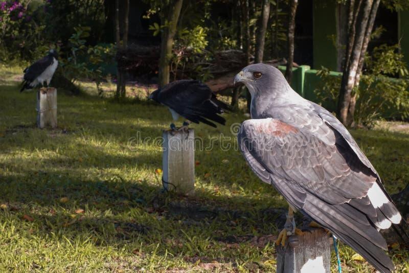 Faucons en captivité le temps de repos photo libre de droits