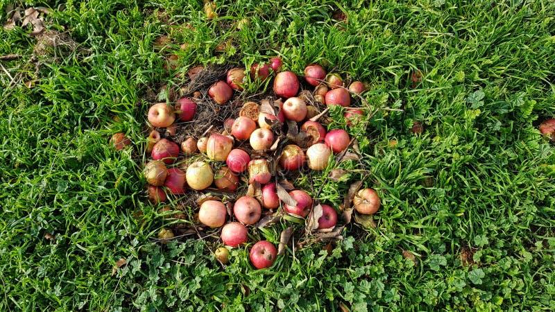 Faule Äpfel stockfoto