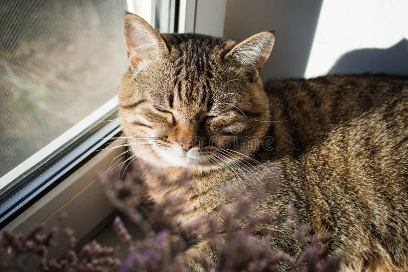 Faule Katze, die auf Fensterbrett schläft Haupthaustier lizenzfreies stockfoto