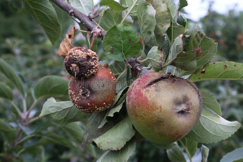 Fauler Apfel stockfoto