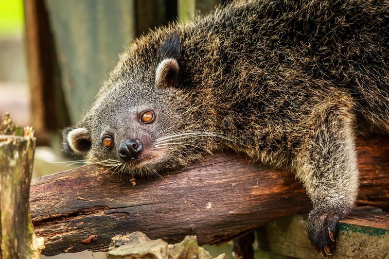 Fauler binturong oder philipino Bearcat, der auf dem Baum, Palawa sich entspannt lizenzfreie stockfotos