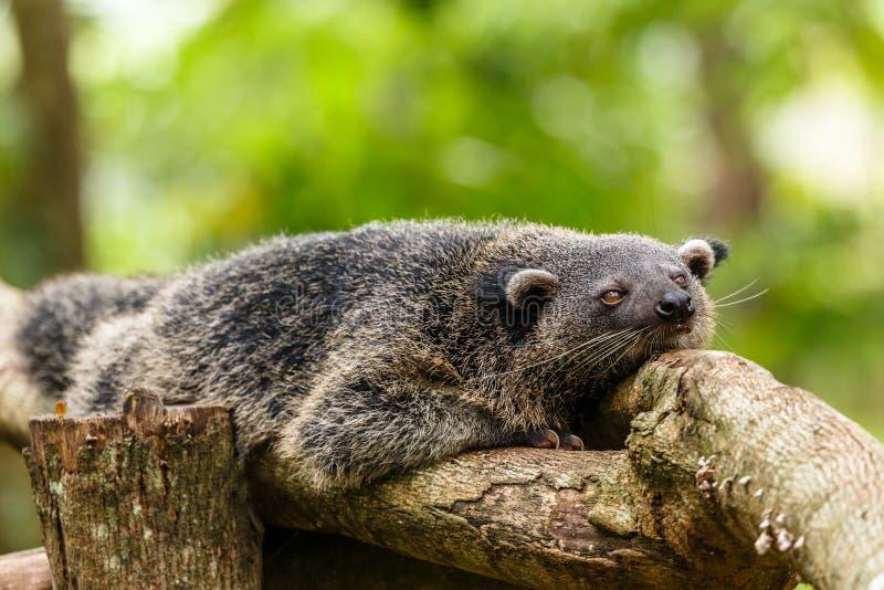 Fauler binturong oder philipino Bearcat, der auf dem Baum, Palawa sich entspannt lizenzfreies stockfoto
