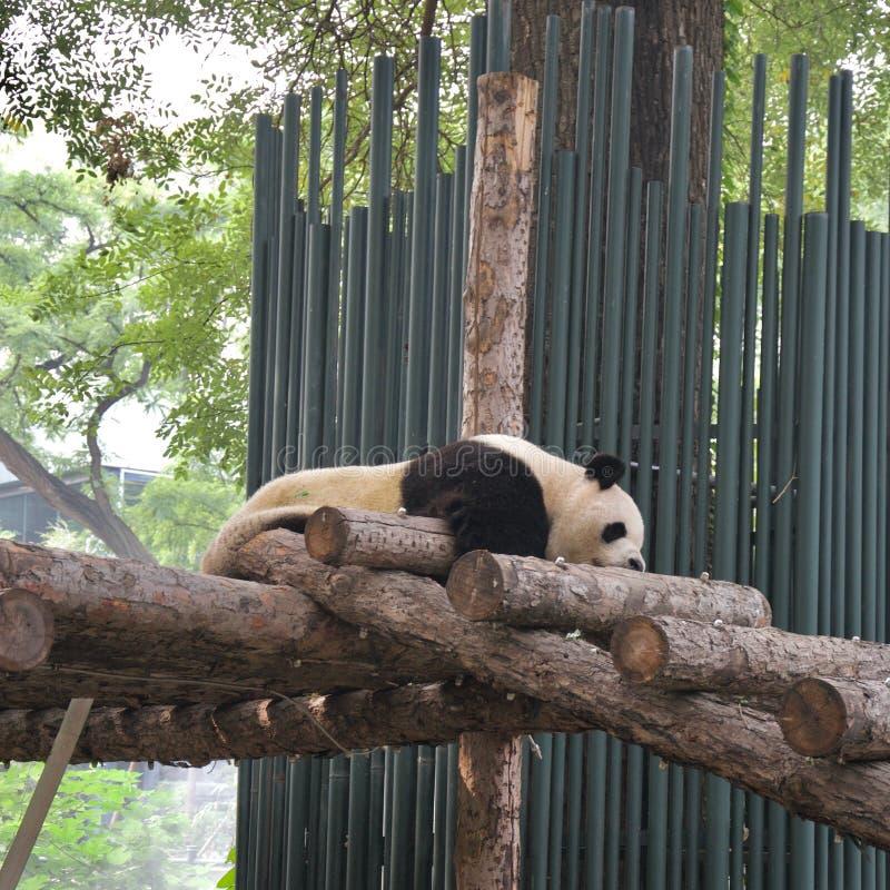 Fauler Pandabär schlafend auf Plattform lizenzfreies stockfoto