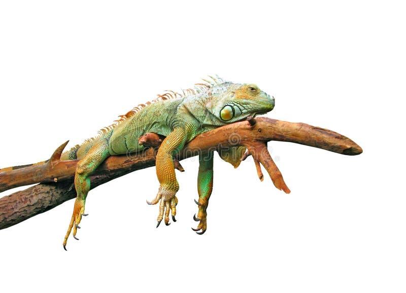 Faules guana, das auf Zweig liegt lizenzfreie stockfotografie