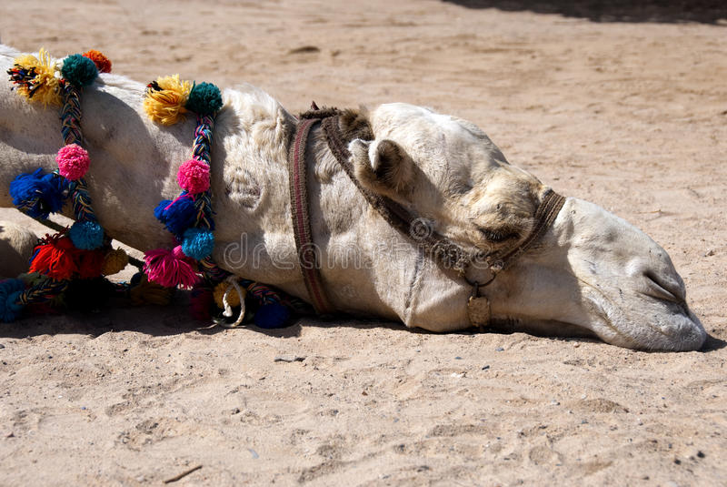 Faules Kamel lizenzfreies stockfoto