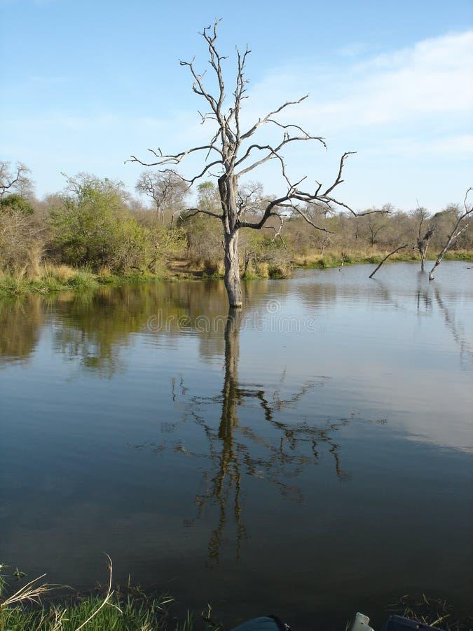 Fauna africana - árbol solitario - el parque nacional de Kruger fotos de archivo