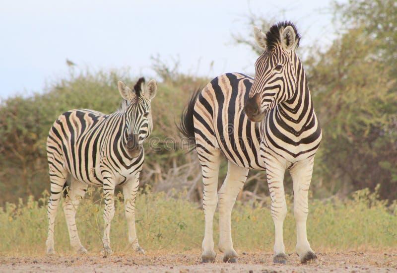 Fauna africana - cebra, Burchell - blanco y negro fotos de archivo