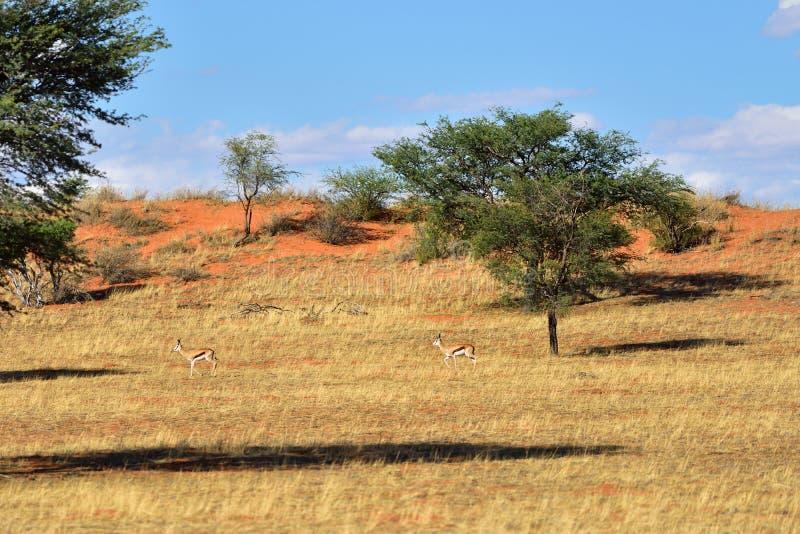 Fauna africana, desierto de Kalahari, Namibia imágenes de archivo libres de regalías