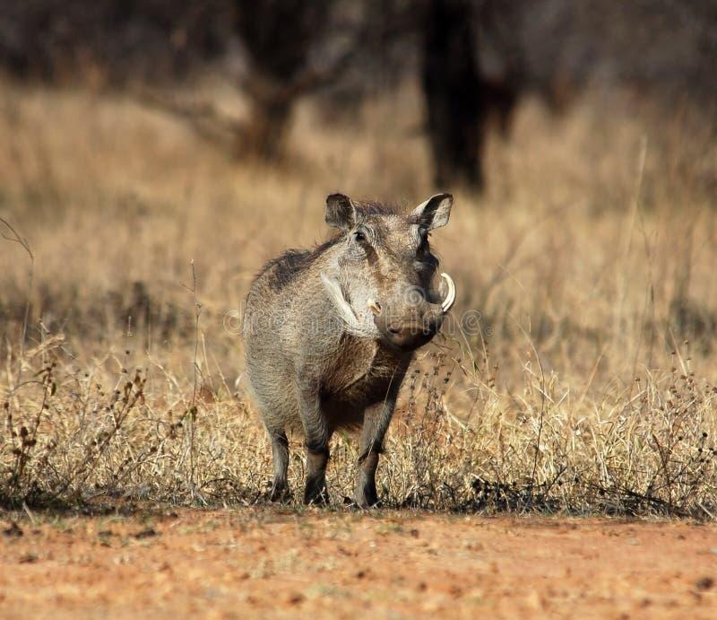 Fauna africana: Warthog fotografía de archivo libre de regalías