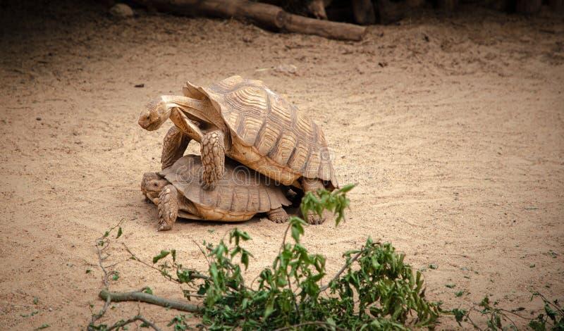 Fauna animal de ?frica de la estaci?n de acoplamiento de las tortugas fotos de archivo