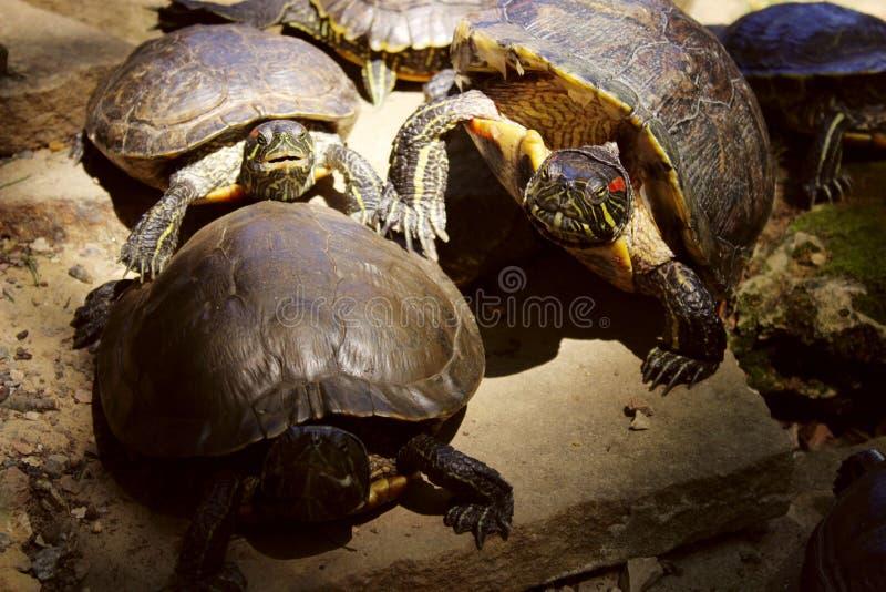 Fauna, animales, concepto de la naturaleza Tortugas hermosas al aire libre resbalador Rojo-espigado fotos de archivo libres de regalías