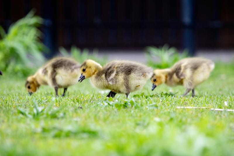 Fauna Birds Canadian Migrant Young Juvenile Canada Goose Geese. In the park royalty free stock photography