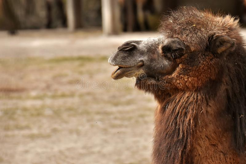 Fauna, Camel Like Mammal, Terrestrial Animal, Wildlife stock photography