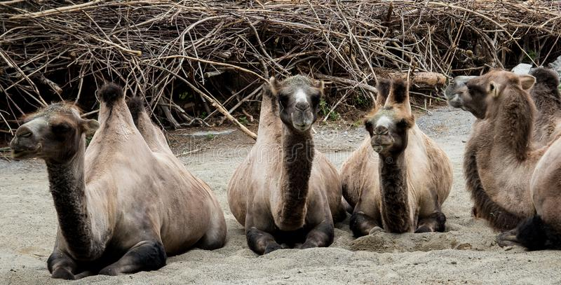 Fauna, Camel Like Mammal, Terrestrial Animal, Wildlife royalty free stock photo