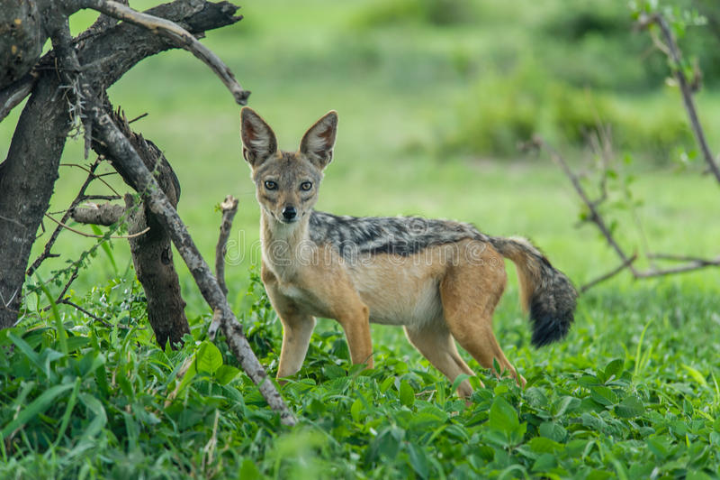 Fauna - chacal fotografía de archivo