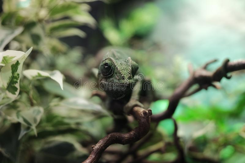 Fauna, Chameleon, Reptile, Leaf royalty free stock photos