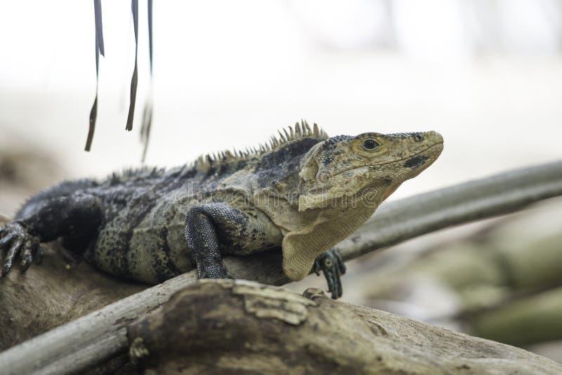 Fauna, Ctenosaur negro en Costa Rica imagen de archivo libre de regalías