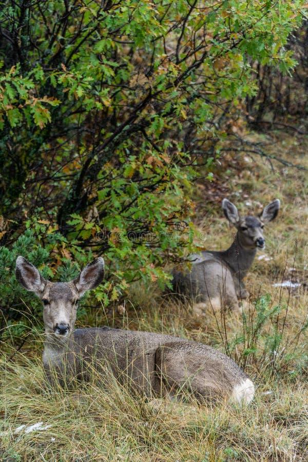 Fauna de los ciervos en el jard?n de dioses Colorado fotografía de archivo