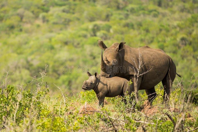 Fauna de Suráfrica del rinoceronte y del becerro foto de archivo