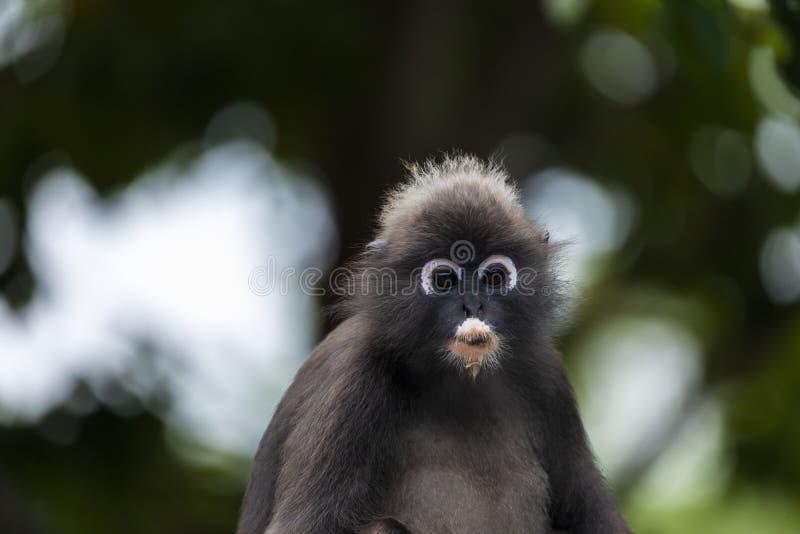fauna del mono del langur fotos de archivo