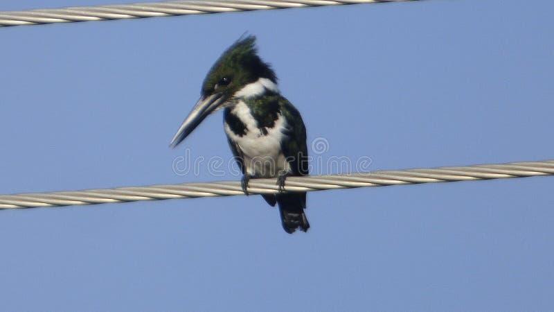 Fauna en Bolivia, Suramérica fotos de archivo libres de regalías