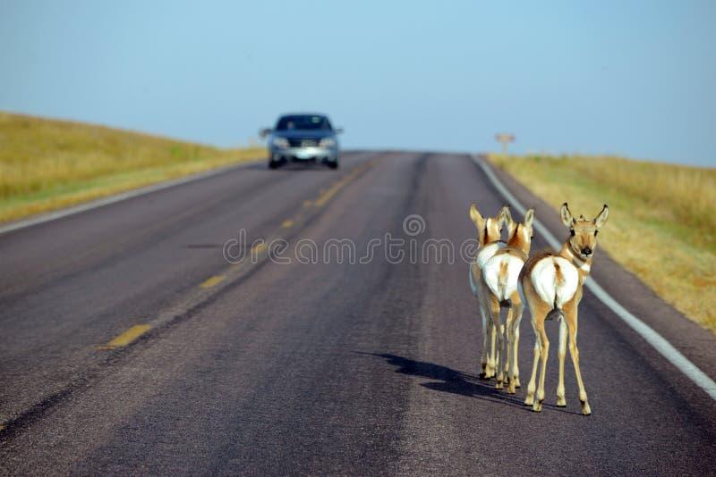 Fauna en el camino con el coche foto de archivo libre de regalías